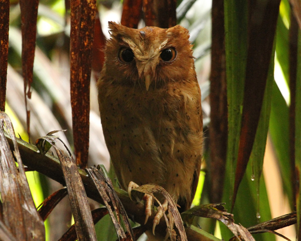 Serendip Scops Owl at Sinharaja Rain Forest, Sri Lanka - A WalkWithJith tour